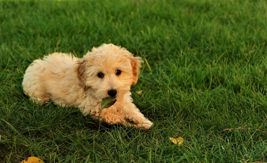 best food for cavapoo puppy