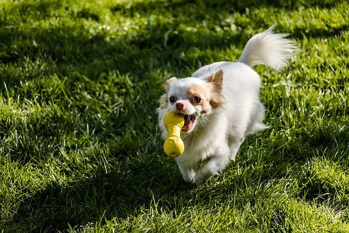 best toys for Chihuahua