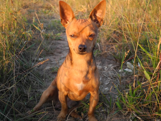 are chihuahua easy to train