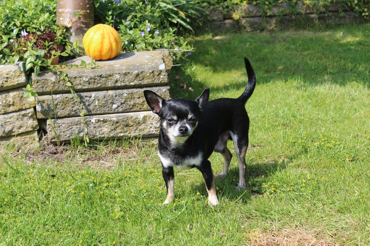 how to train an older Chihuahua
