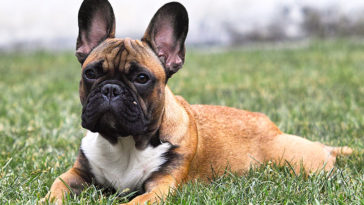 why do French bulldogs cry so much