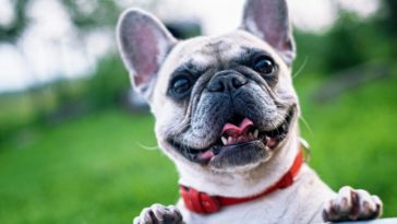 best collars for French bulldogs