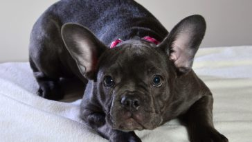 how much do Frenchies cost