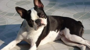 how long are French Bulldogs pregnant