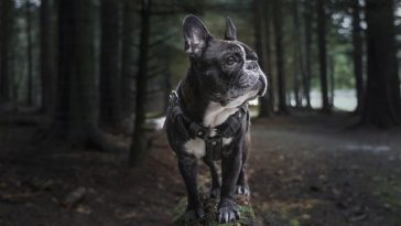how long do Frenchies live
