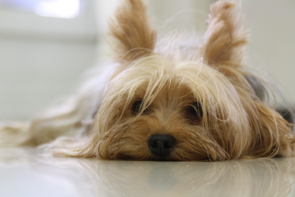 what do yorkies usually die from 2