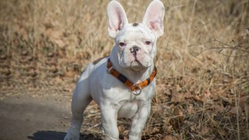 why do French bulldogs fart so much