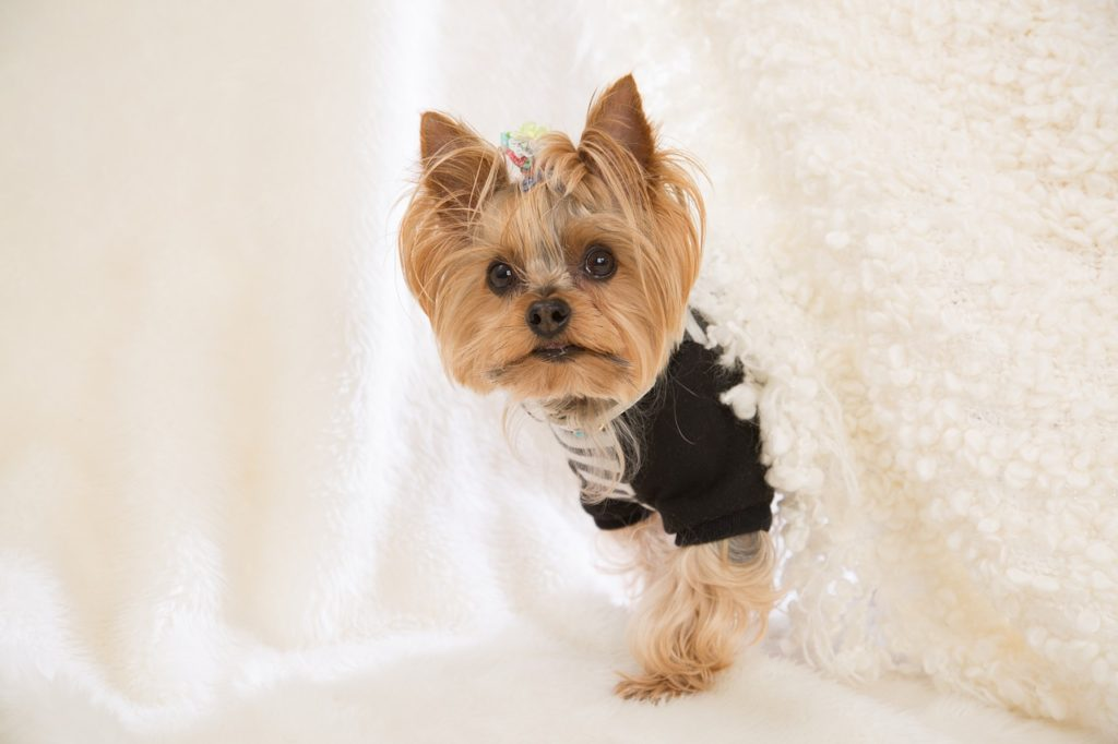 how is a yorkshire terrier with cats