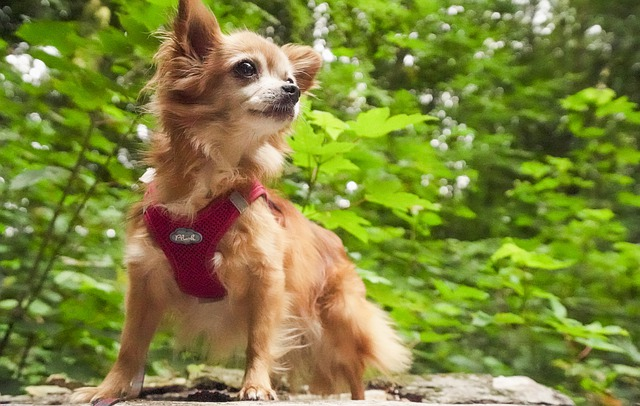 how much exercise do Chihuahuas need