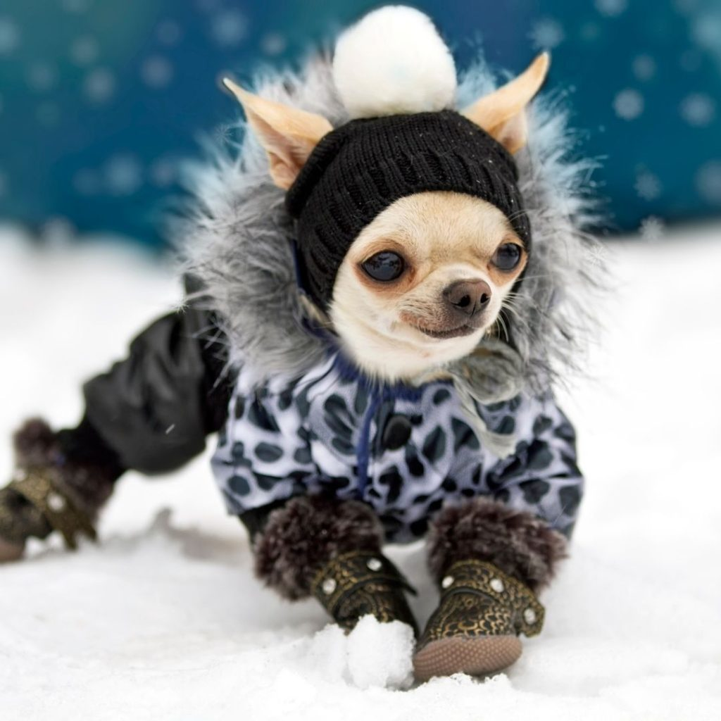 what-temperature-is-too-cold-for-chihuahua