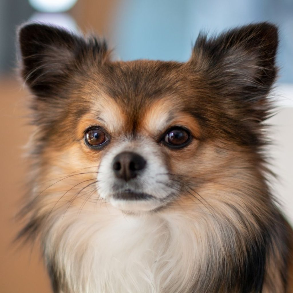 can-chihuahuas-be-service-dogs