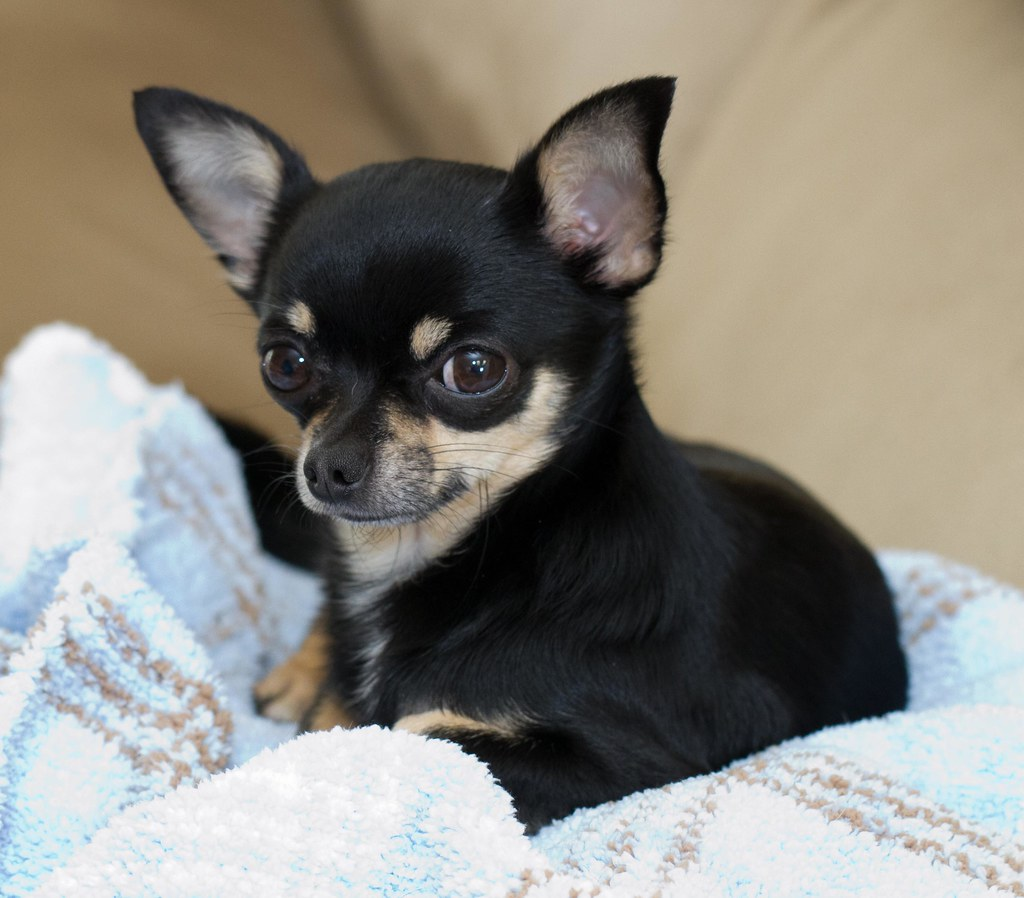 Do Chihuahuas Have Separation Anxiety