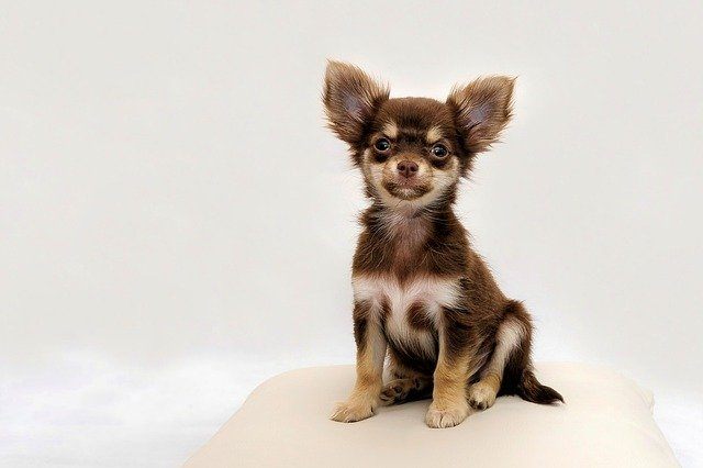 Are Chihuahuas Prone to Skin Problems