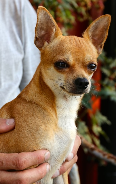 Are Chihuahuas good emotional support dogs