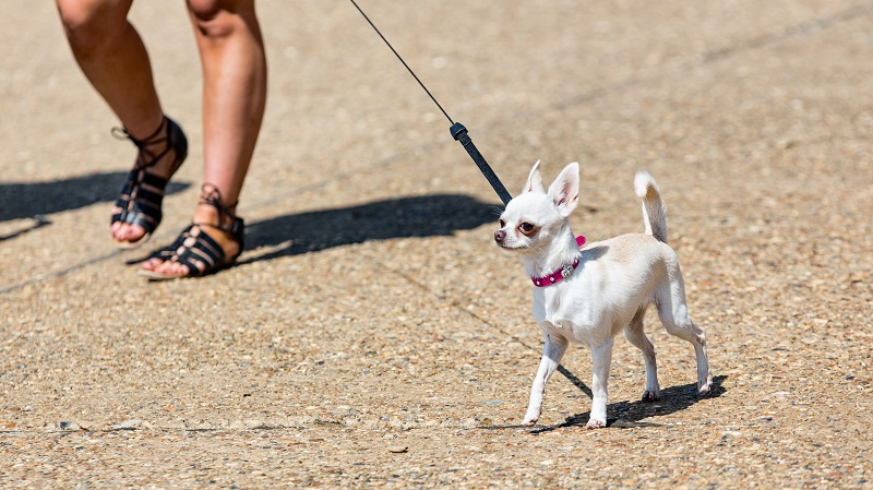 Should You Walk a Dog with Luxating Patella