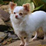 when to spay a Chihuahua