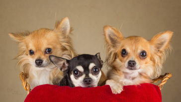 Can Chihuahuas see in the dark?