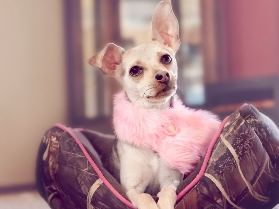what-age-do-chihuahuas-go-into-heat