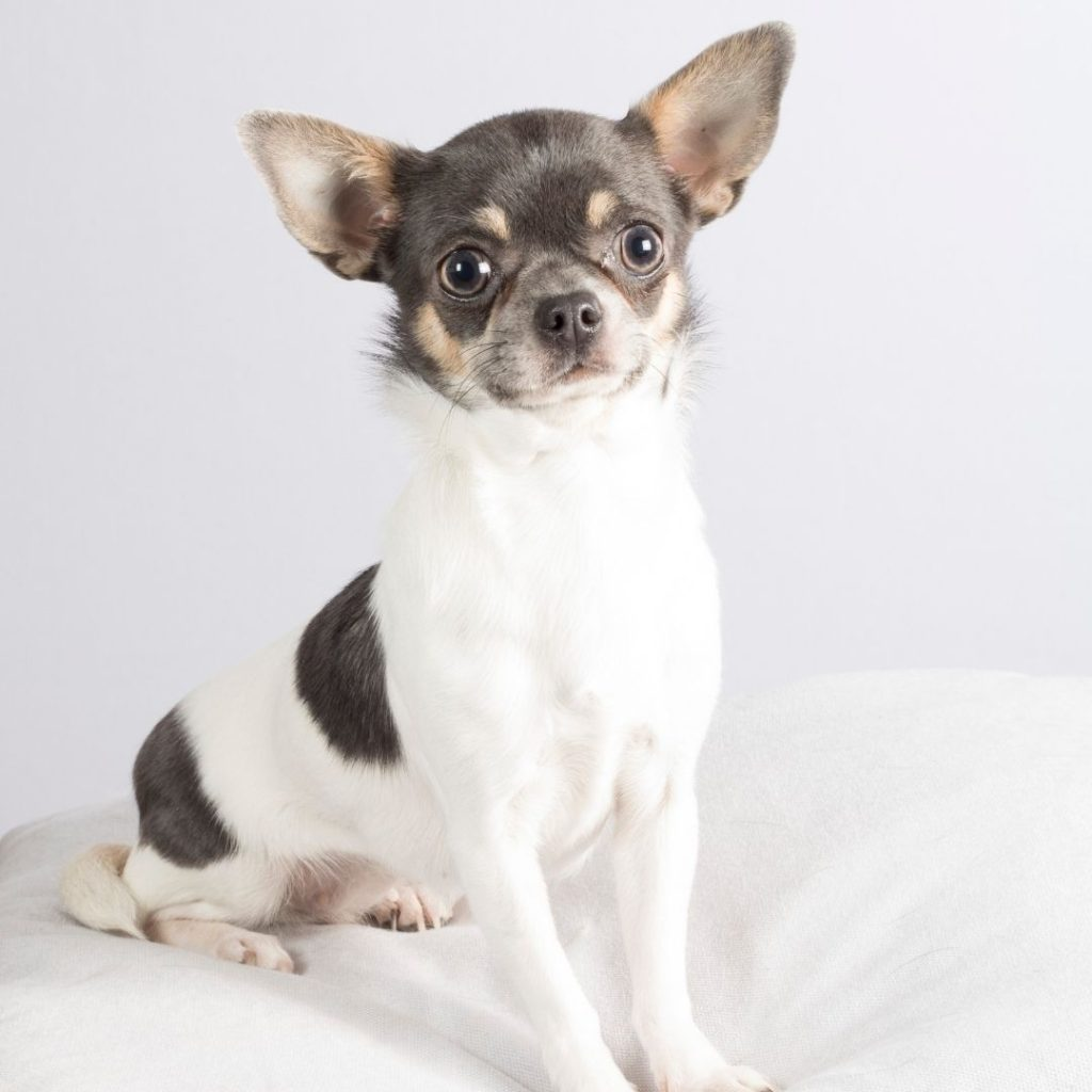 how-to-fatten-up-a-chihuahua