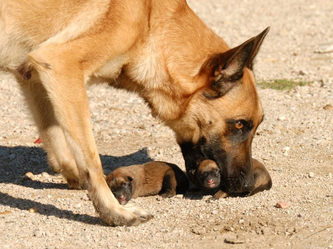 do-dogs-eat-their-puppies-if-you-touch-them