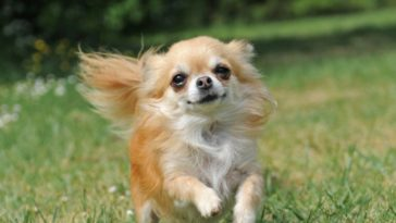 are-chihuahuas-difficult-to-train