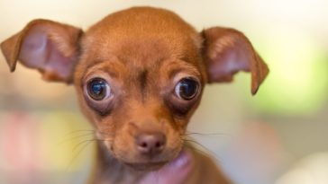 are-chihuahuas-fussy-eaters