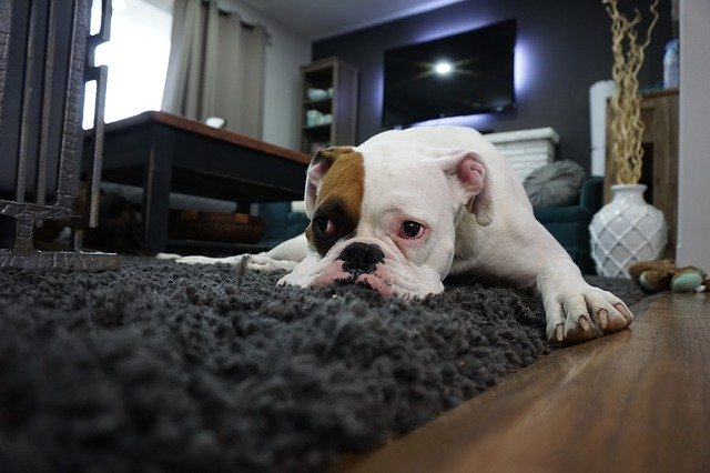 Why does my dog scratch the carpet?