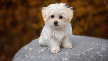 When do puppies get their adult coat?