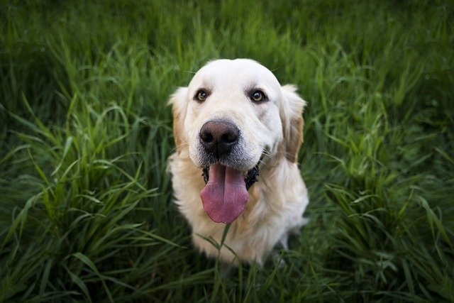Why do Dogs Stick Out Their Tongue?
