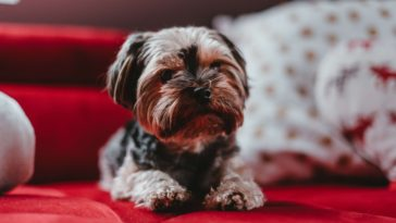 How to groom a yorkie with matted hair