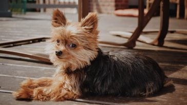 How To Get Rid Of Fleas On A Yorkie