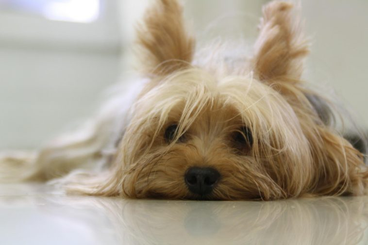 How To Groom A Yorkie Face?