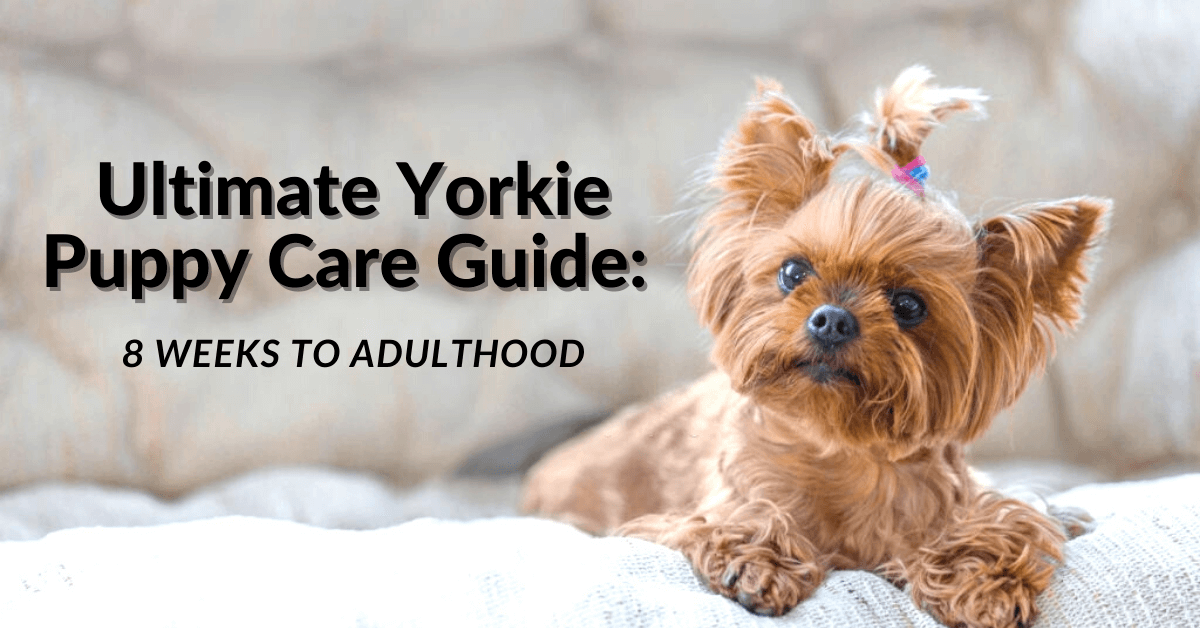 Ultimate Yorkie Puppy Care Guide