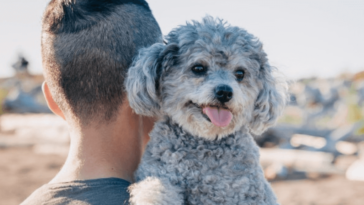 What does it mean when a male dog's nipples are swollen