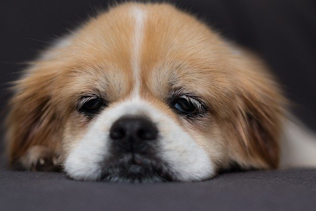 Dog in Pain After Glands Expressed