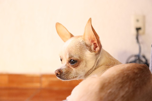 Why do Chihuahuas attach to one person?