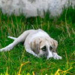 When to euthanize a dog with tracheal collapse?