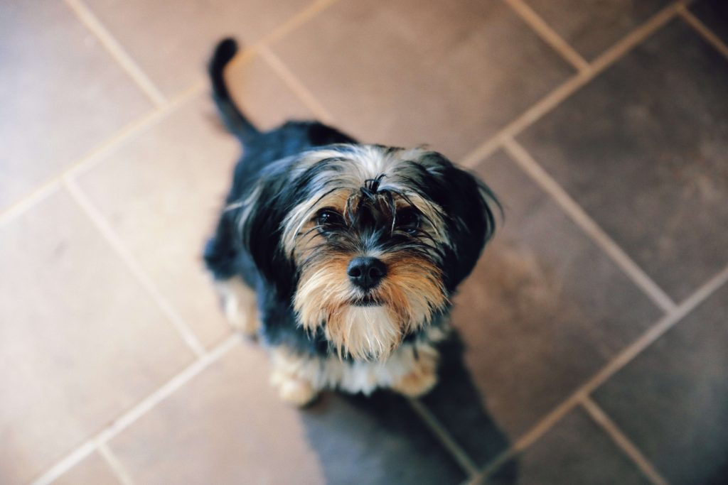 Why Do Yorkies Smell So Bad?
