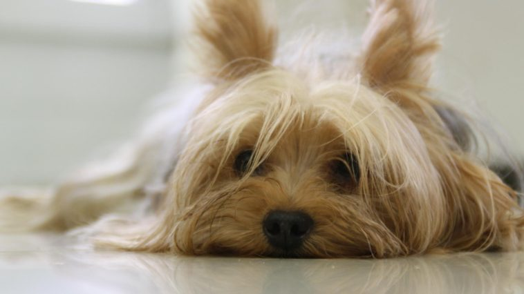 Why do Yorkies smell so bad
