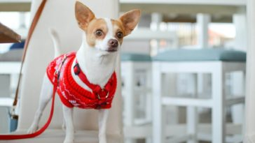 How Often Should Chihuahuas Be Walked?