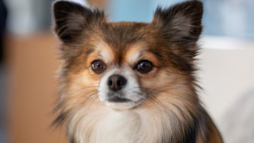 Why Are There So Many Chihuahuas In Shelters?