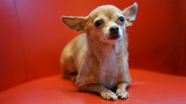 Can Chihuahuas Eat Cheese?